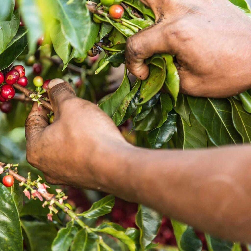 Costa Rica HB coffee harvest