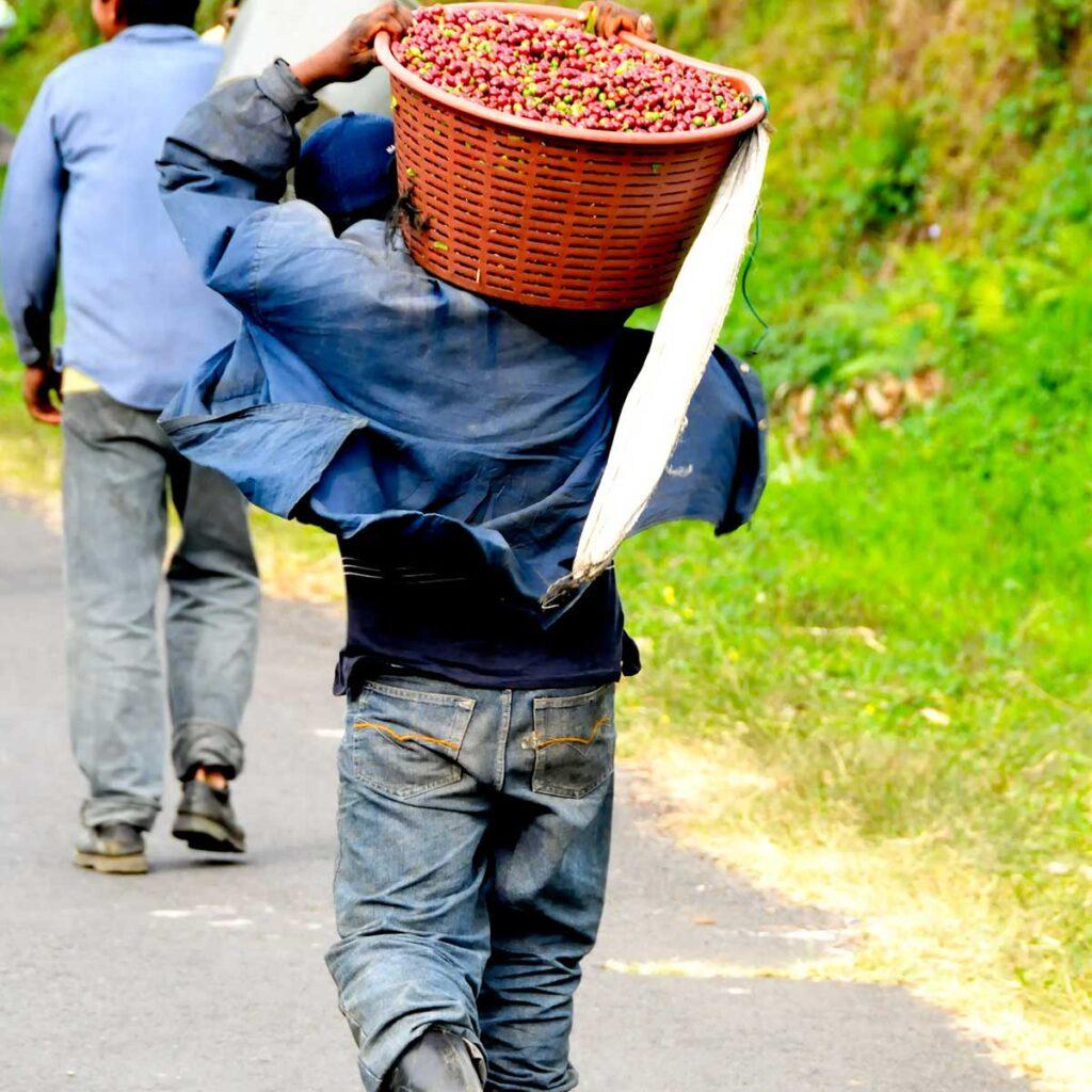 Costa Rica coffee harvest worker