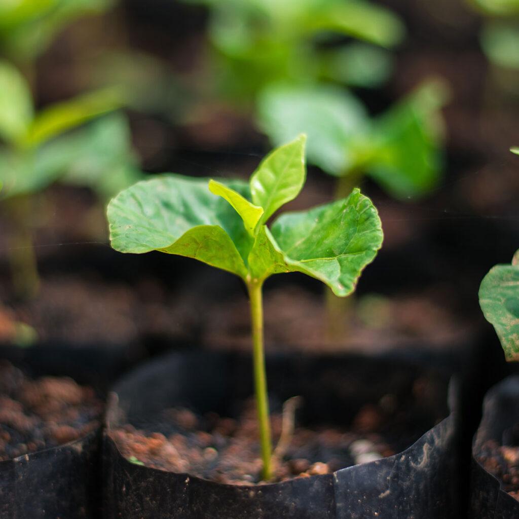 arabica coffee tree seedling in nursery