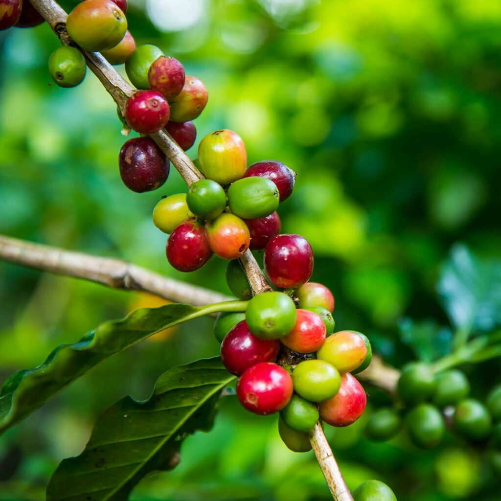 coffee cherries different ripeness states on a branch