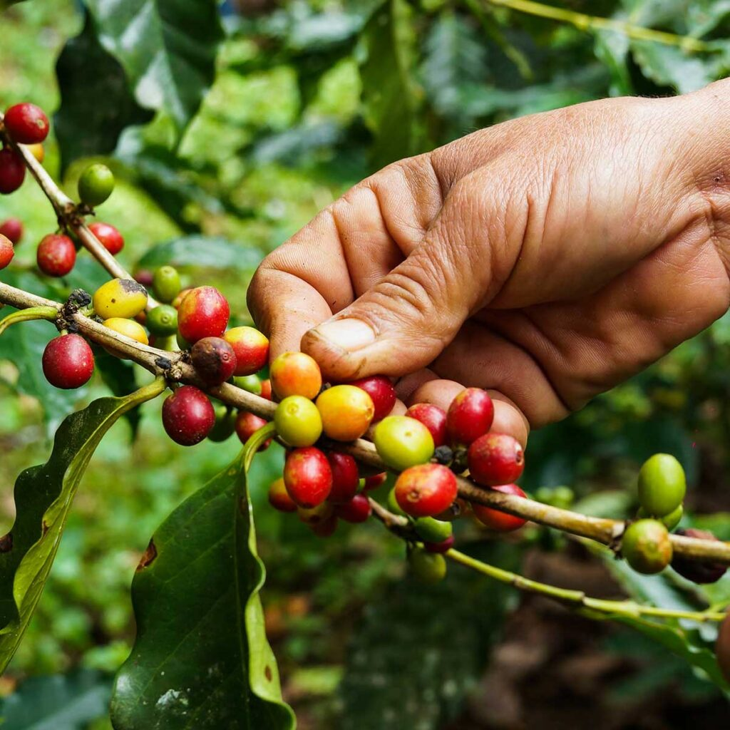 Coffee hand picked Kerala