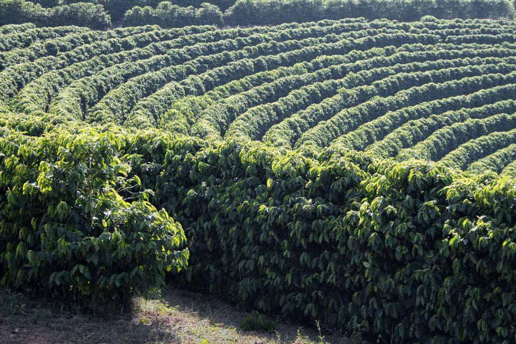 咖啡種植園