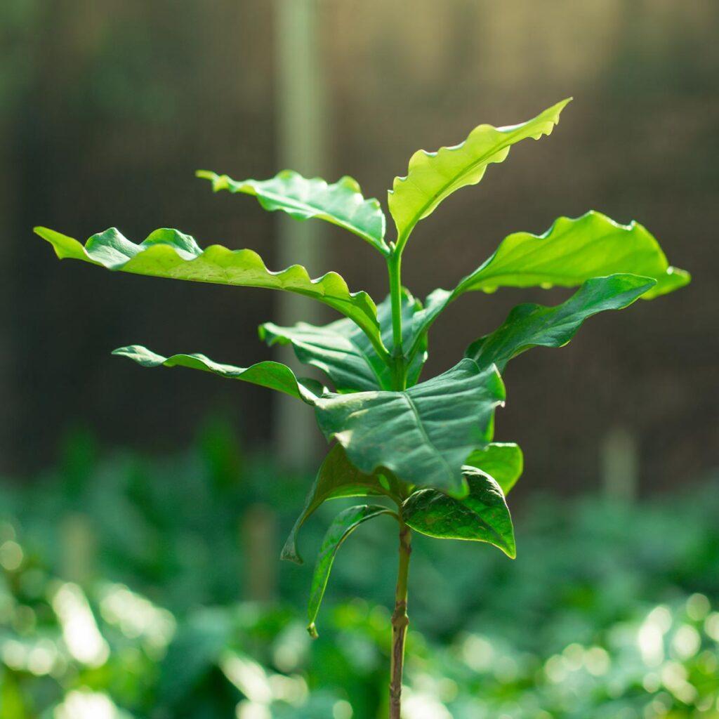 coffee tree plant