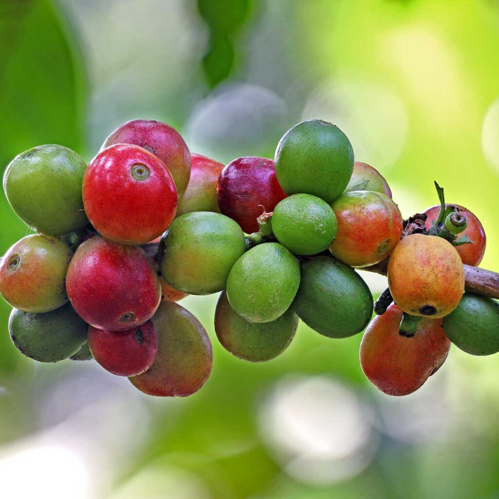Indian Cherry coffee beans Kerala