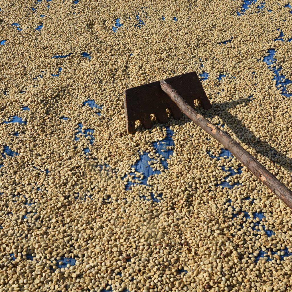Malabar AA coffee monsooned