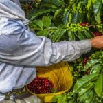 coffee cultivation