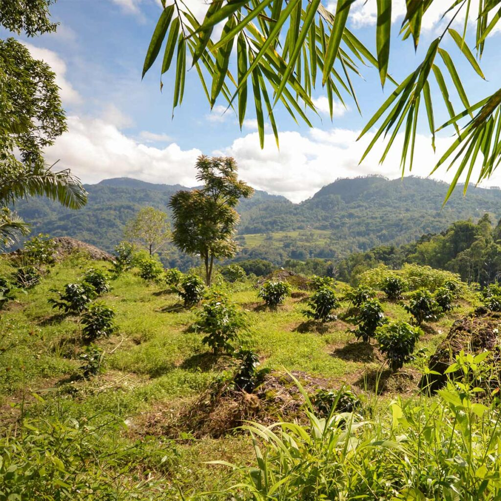 coffee cultivation in Rantepao in Indonesia