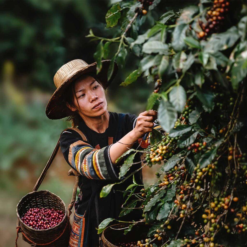 coffee picking in Ban Pang Khon in Thailand 1