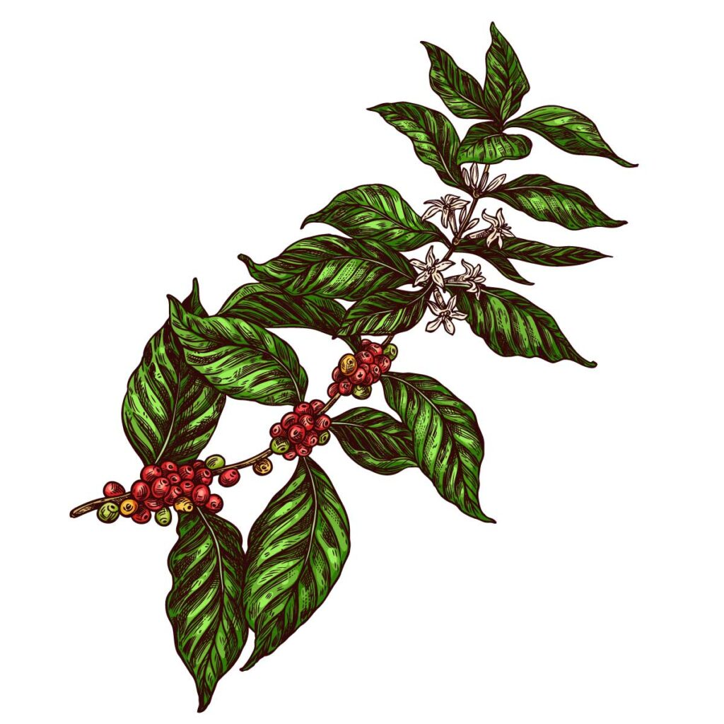 coffee plant drawing