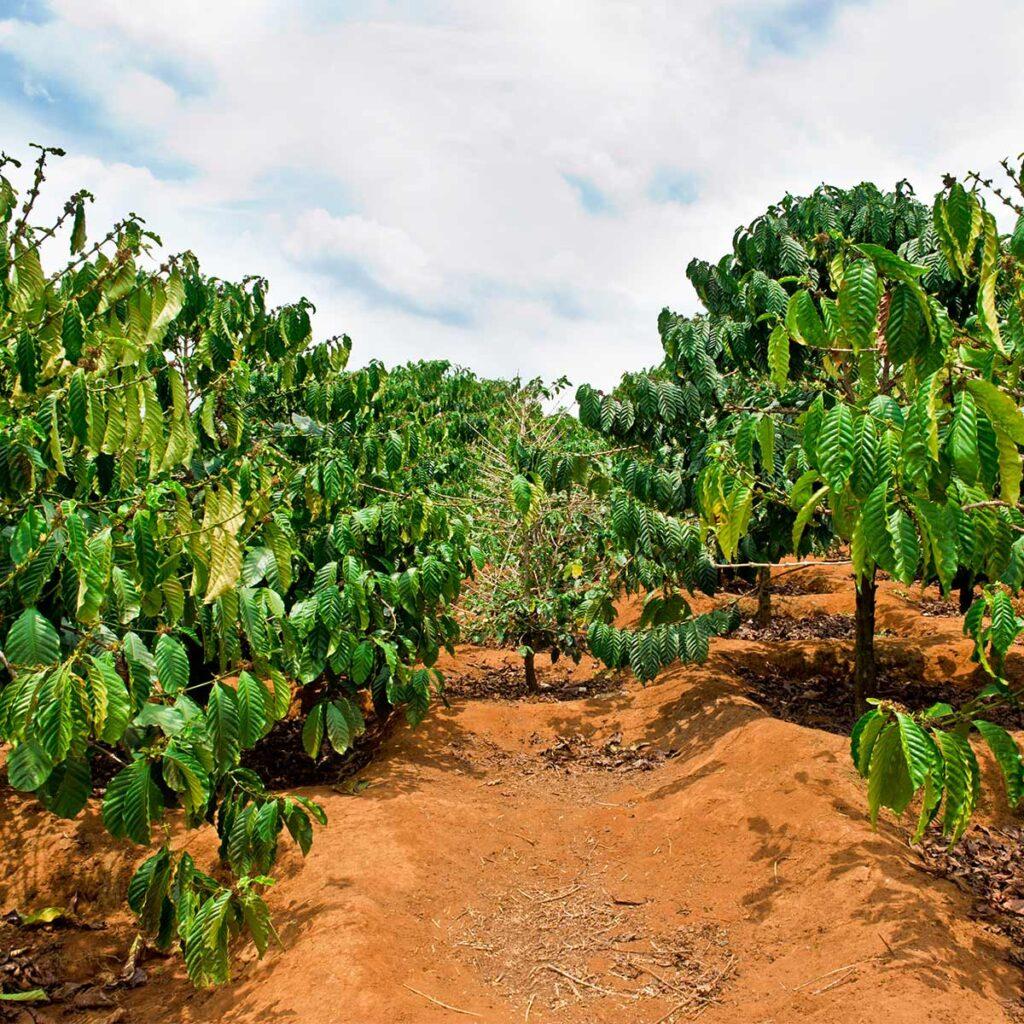 coffee cultivation in Dalat in Vietnam