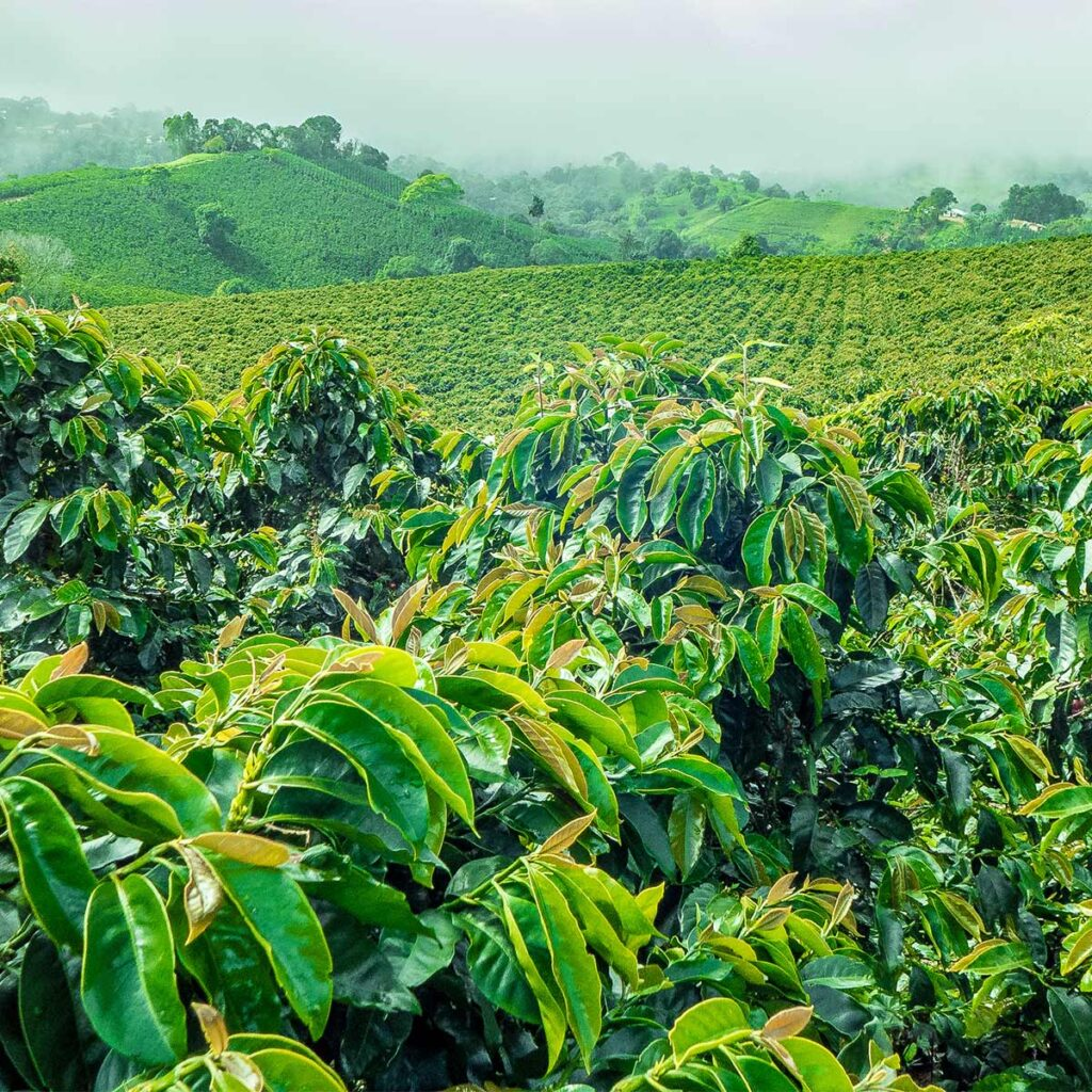 coffee cultivation in Jerico in Colombia