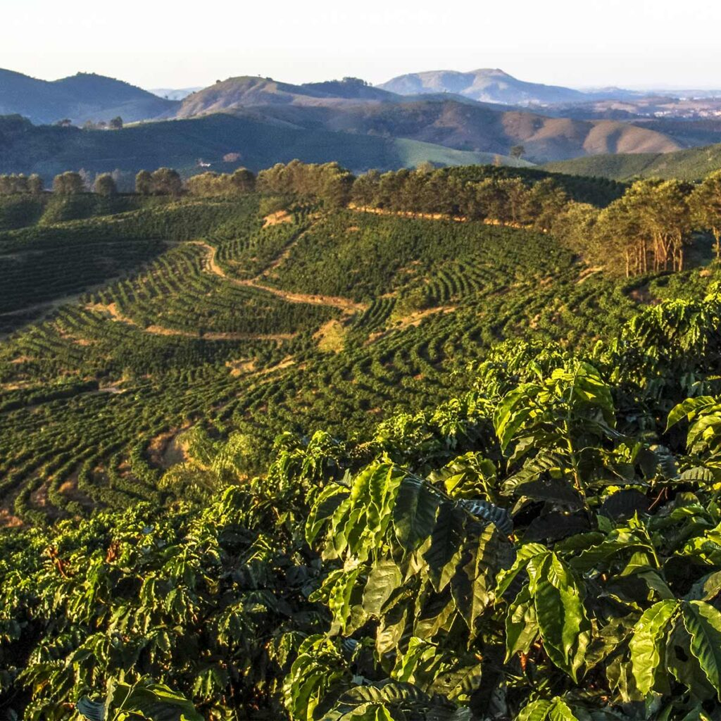 coffee cultivation in Minas Gerais State in Brazil