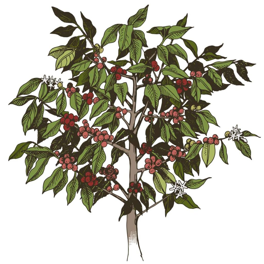 咖啡樹繪圖