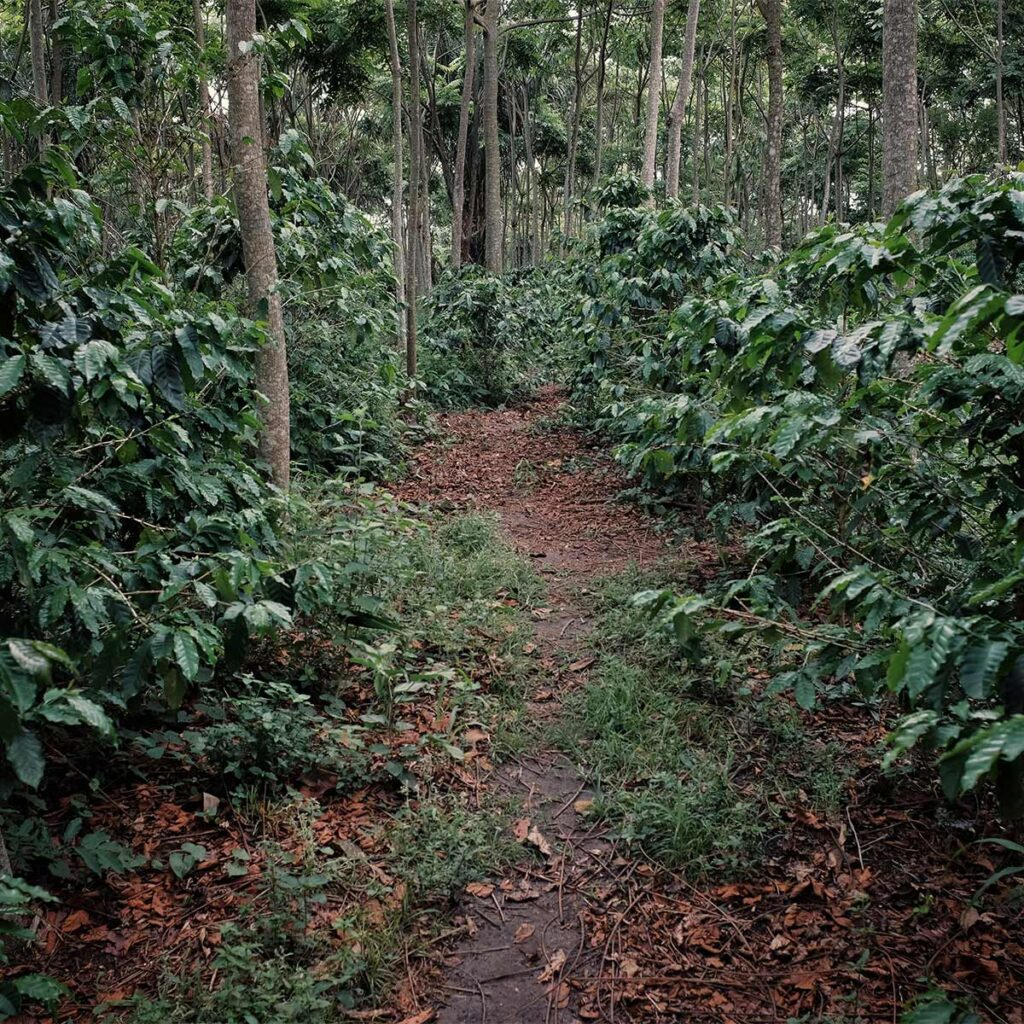 ecological coffee cultivation
