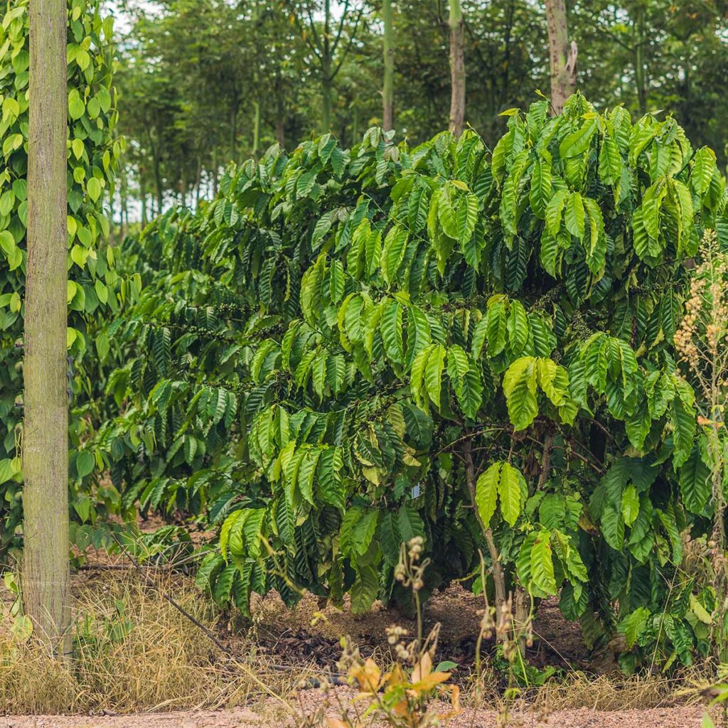 ecological coffee plantation